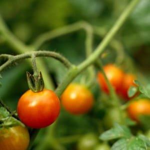Tomateras en el huerto